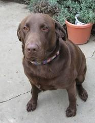 Sit, Buddy, Sit (kkimpel) Tags: christmas family dog pet pets dogs lab chocolate buddy chocolatelab christmas2006