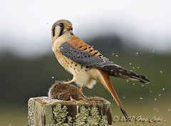 American Kestrel (with lunch) (copeg) Tags: california santa santacruz bird nature mouse rodent bravo hawk quality cruz raptor prey vole americankestrel kestrel falco interestingness5 sparverius specnature specanimal animalkingdomelite p1f1 impressedbeauty avianexcellence