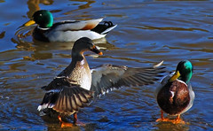 Three Ducks - by wishymom (Stephanie Wallace Photography)