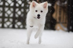 Sam in the snow (Jack Pattishall) Tags: snow americaneskimo eskie nikond200 50mmf14af nikonstunninggallery