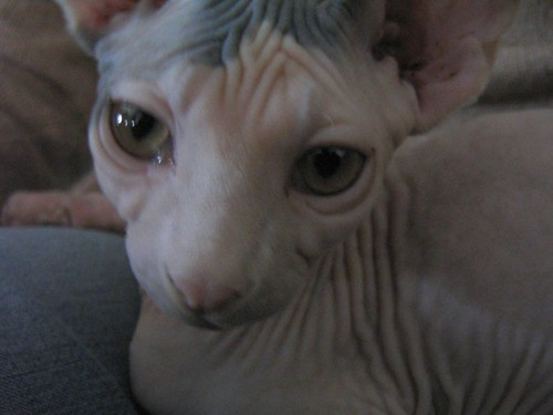 hairless cat 343143048 fa41bee9cd Hairless tootsies