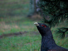 cock of the walk (KirkHakkinen) Tags: wild urban male bird eye face pine finland neck binocular bill binoculars tame scoping metso tetraourogallus westerncapercaillie kemi tjder auerhuhn grandttras