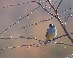 Thorns of Plenty (Fort Photo) Tags: newmexico bird nature birds animal bravo dof wildlife birding aves bosque sparrow ave crop thorns nm ornithology bosquedelapache avian 2007 whitecrownedsparrow zonotrichialeucophrys emberizidae passeriformes magicdonkey 300f4 birdphoto specnature specanimal abigfave flickrgold impressedbeauty isawyoufirst