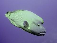 Napoleon Wrasse, Red Sea (scuba_dooba) Tags: ocean fish marine underwater redsea egypt scuba diving napoleon wrasse napoleonwrasse مصر