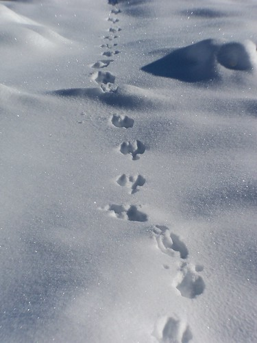Picture of Rabbit Footprint http://katiechatfield.wordpress.com/2007/01/17/rabbit-tracks-in-snow/