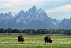 Bison and Grand Tetons: Moran Junction, Wyoming (WY) (Floyd Muad'Dib) Tags: usa mountain mountains animal animals america geotagged mammal us nationalpark buffalo unitedstates wildlife united north grand bull junction northamerica states wyoming mountmoran grandtetons teton tetons northern bison moran mammals ungulate americanwest wy grandtetonnp grandtetonnationalpark ungulates westernusa mtmoran northernwyoming bisonbull bullbison wyominglandmarks northernwy