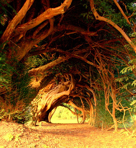The Yew Tunnel. / annicariad