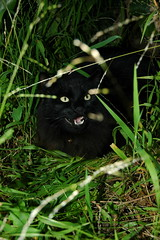 See?  Here Bully is yeowling at me.  Again! (Shawn's Kitty (Busy Healing!)) Tags: grass cat badkitty yelling bully loud meows neighborhoodbully yeowling utata:project=backyard