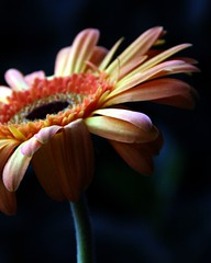 Gerbera Flower (whoops vision) Tags: flowers orange plant flower yellow petals stem gerberas gerberadaisy superaplus aplusphoto flickrplatinum