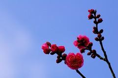 / Plum (*Sakura*) Tags: winter red sky flower japan tokyo plum sakura    sakura
