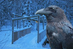 The Raven of Troll Bridge (North60) Tags: activeassignmentweekly bestofweek1 bestofweek2 bestofweek3 bestofweek4 bestofweek5 bestofweek6 bestofweek7 bestofweek8 aawstorybookillustration theravenoftrollbridge forwhomthebelltrolls