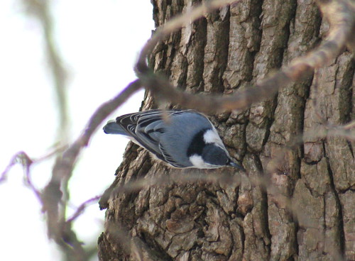 white-breasted nuthatch top view