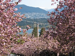 23-Apr-06 Cherry tree blossom (Dennisworld) Tags: 2006 catchup
