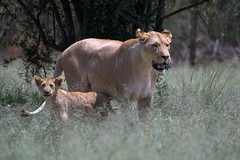 Lioness & cub (Arno Meintjes Wildlife) Tags: africa wallpaper baby nature southafrica bush leo wildlife lion safari explore bigcat predator rsa carnivore pantheraleo interestingness470 i500 genuspanthera superaplus aplusphoto animaladdict arnomeintjes