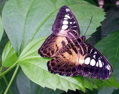 (happycat) Tags: butterfly germany insect bayern idea insekt schmetterling oberfranken schme