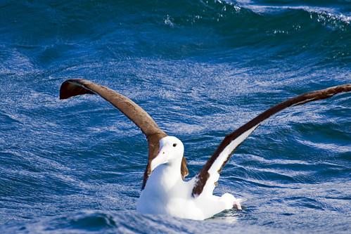 wandering albatrossWandering Albatross Wallpaper