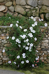 creeping flowers (bonnipink) Tags: flowers highlands cameron malaysia