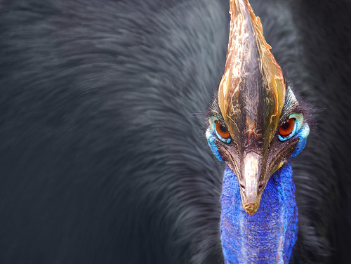 Cassowary by DrawPerfect, on Flickr