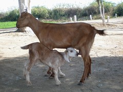 Mother Nature (Iqbal.Khatri) Tags: pakistan baby nature goat olympus sindh mothernature thatha villagelife abigfave fe180 iqbalkhatri gettyimagespakistanq2