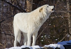 Apache Howling (kotobuki711) Tags: trees white snow ny newyork cold male apache woods wolf rocks call dof bokeh branches conservation canine sound alpha wolves howl communicate alphamale britishcolumbian southsalem outstandingshots wolfconservationcenter artict superaplus aplusphoto