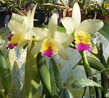 Blc. Johnny Letcher 'Rosemeath'