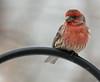 ...House Finch... (Random Images from The Heartland) Tags: chris bird nature birds southdakota wildlife aves finches bailey housefinch carpodacusmexicanus chrisbailey backyardbirds bail56 randomimagesfromtheheartland haemorhousmexicanus chrisbaileyimages
