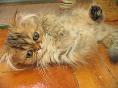 IMG_5281 (Karaxatada) Tags: cat persian kitten chat gato filhote gatinho chaton persa persan