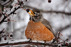 Thank you to Mulletar for this super photo of an American Robin in Winter