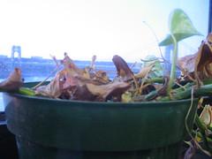IMG_5516 (the.steamroller) Tags: plant window dead georgewashingtonbridge