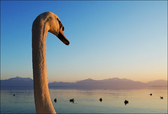 Piggy-Back Ride (Mr.Bones) Tags: sunset swan topf50 bravo wideangle chiemsee outstandingshots 123f50 colorphotoaward