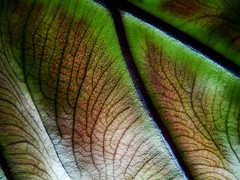 Life Design: Fundamental Structures (bdec) Tags: macro leaf bravo brian veins interestingness108 outstandingshots challengeyouwinner briandecarmo decarmo