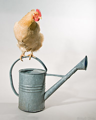 Chicken on a Watering Can #1 (Mark Klotz) Tags: canada chickens chicken animals crazy bc animalplanet wateringcan feathery markklotz featheryfriday chickenonwateringcan