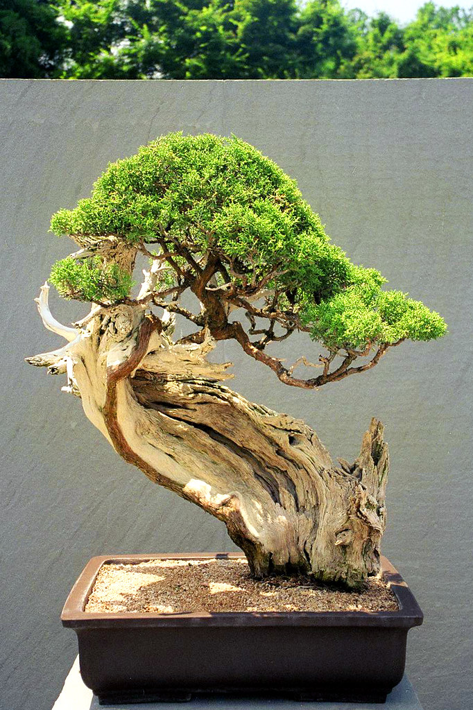 Upright Literati Juniper Bonsai, Washington, DC.