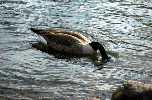 bobbing duck