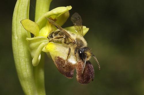 زهرة تتنكر الى درجة انها تخدع النحل نفسه 412913054_89abf813b4