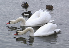 Swan ballet (Kirsten M Lentoft) Tags: lake topc25 topv111 neck duck swan rightplacerighttime naturesfinest blueribbonwinner impressedbeauty momse2600 kirstenmlentoft