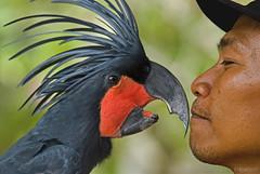 an eye on you... i gotta keep movin' on♫ bali bird park (bocavermelha-l.b.) Tags: friends southchinasea 80200mmf28 inbali inindonesia tôôt shootingwithd200 blackpalmcockatoo nikonr1ttlringlightflash proboscigeraterrimus rajacockatoo proboscigeraterrimusgoliath greatpalmcockatoo greatblackcockatoo goliathcockatoo goliatharatoo capeyorkcockatoo microglossenoir grandcacatoèsnoir cacatúaenlutada tamanburungbalibirdpark blackmacaw inbatubulan wildlifebali