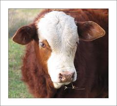 That Look in His Eye (Jutilda) Tags: cow cattle farm eat calf