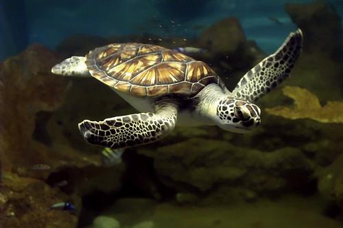 Tortuga Verde de Mar.