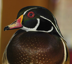 American Wood Duck (ucumari photography) Tags: bird march duck nikon d70s northcarolina 2007 woodduck ucumari ucumariphotography sylvanheights americanwoodduck goldenphotographer diamondclassphotographer flickrdiamond