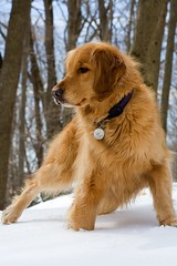 Luck o' the Birthday Girl! (kotobuki711) Tags: birthday winter dog snow girl goldenretriever golden march retriever luck lucky bailey stpatricks stpatricksday noble 2007 stance thedoghouse impressedbeauty top20wintergoldens