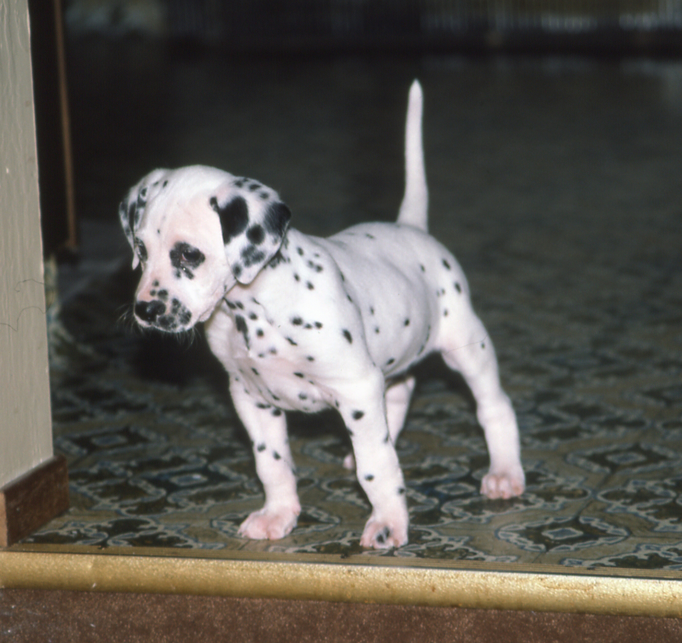 puppy dalmatian looking down
