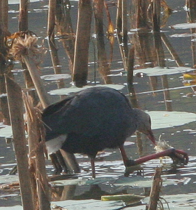 Purple Swamphen feeding