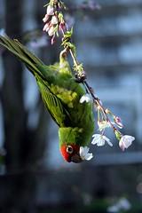 Tenacious Parrot - by gwen