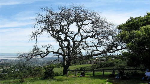 Live oak on hill top