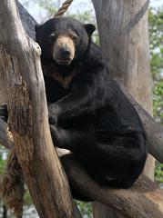 Sunbear (Tad 20D) Tags: bear animal mammal stlouiszoo sunbear