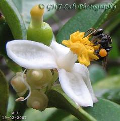PocketBee_004 - Lovely Pair ~ (Heng-Joo aka GHJ-Cali) Tags: nature bee s3is canonpowershots3is