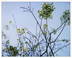 new leaves (lawatt) Tags: new film leaves polaroid spectra twigs 990 sonomastate