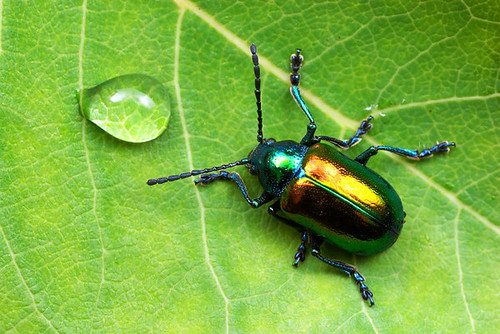 Leaf Beetle the dogbane leaf beetle