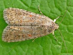 2385-DSCN4252 Small Mottled Willow (Spodoptera exigua) (ajmatthehiddenhouse) Tags: amphipyrinae noctuidae moth spodoptera exigua spodopteraexigua smallmottledwillow 2007 h